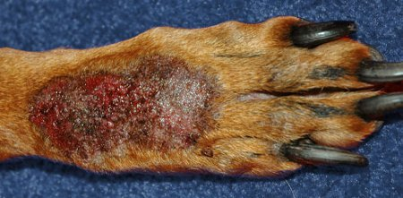 How To Treat Proud Flesh In Dogs