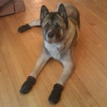 Dog booties for hardwood floors for Hardwood floors dog nails