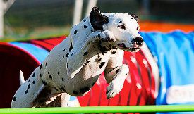What are the AKC agility rules?